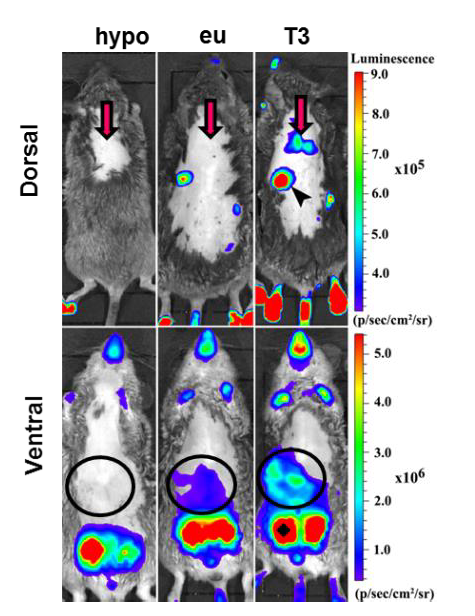 Thyroid Hormone Action Indicator Transgenic Mouse: the in vivo model to promote thyroid hormone-related R&D