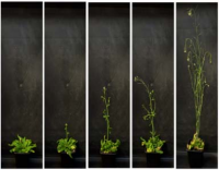 New system to modulate the degree of silencing of a gene of interest in plants