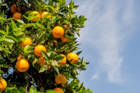 Seeking in-field tools to accurately measure citrus raw juice quality